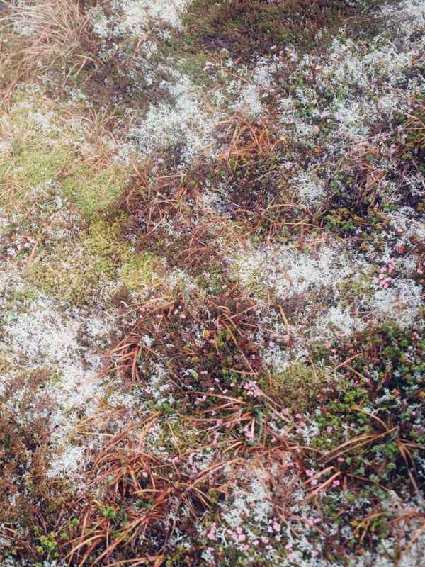 magnolia_mountain_nordland_tundra_.jpg