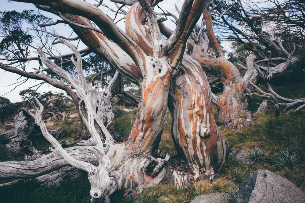 magnolia_mountain_windfall_snow_gum.jpg