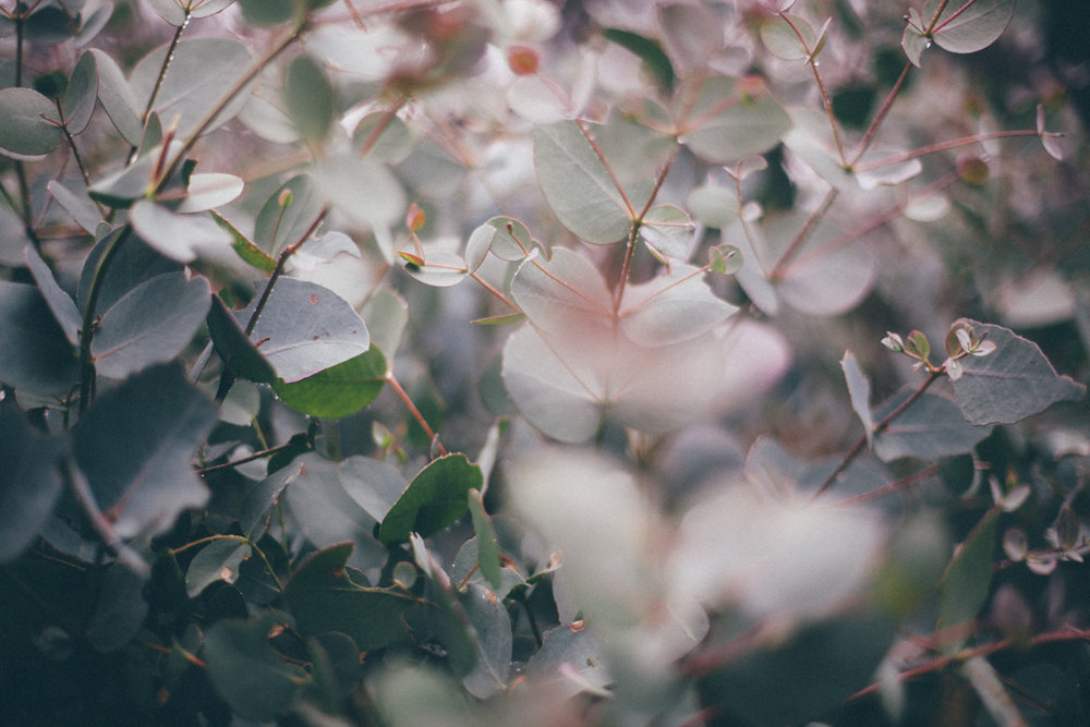 magnolia_mountain_silver_dollars_III.jpg