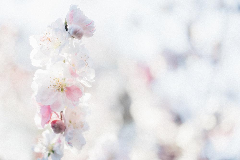 Magnolia_Mountain_Sydney_Hanami_XI.jpg