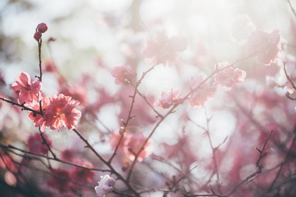 Magnolia_Mountain_Sydney_Hanami_XII.jpg