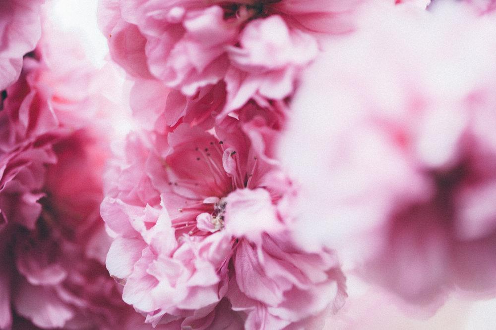 Magnolia_Mountain_Sydney_Hanami_XV.jpg