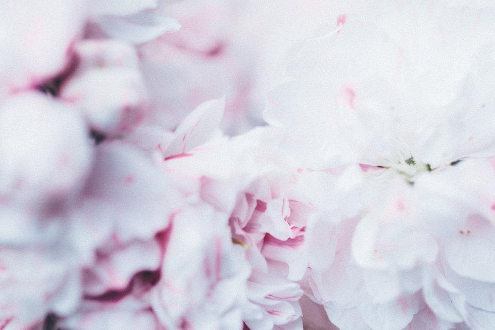 Magnolia_Mountain_Sydney_Hanami_XIV.jpg