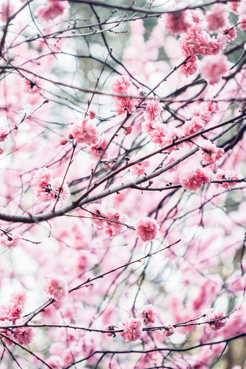 Magnolia_Mountain_Sydney_Hanami_VI.jpg