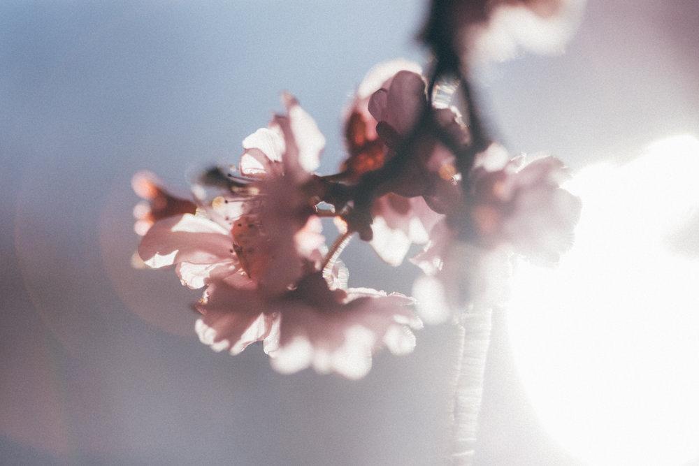 Magnolia_Mountain_Sydney_Hanami_IV.jpg