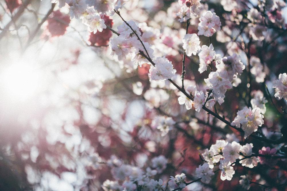 Magnolia_Mountain_Sydney_Hanami_X.jpg