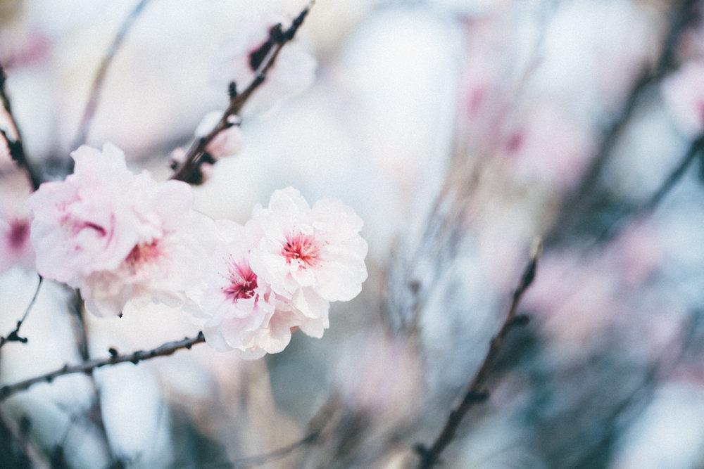 Magnolia_Mountain_Sydney_Hanami_XVI.jpg