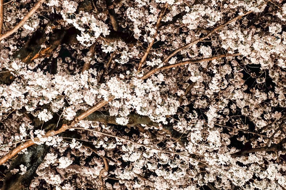 magnolia_mountain_yozakura.jpg