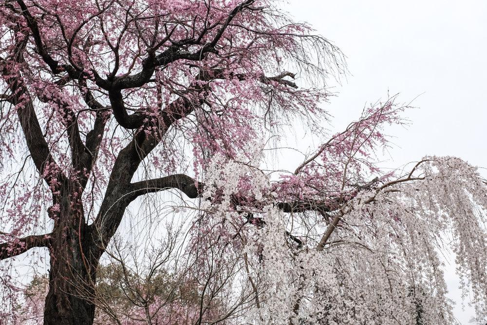 magnolia_mountain_kyoto.jpg