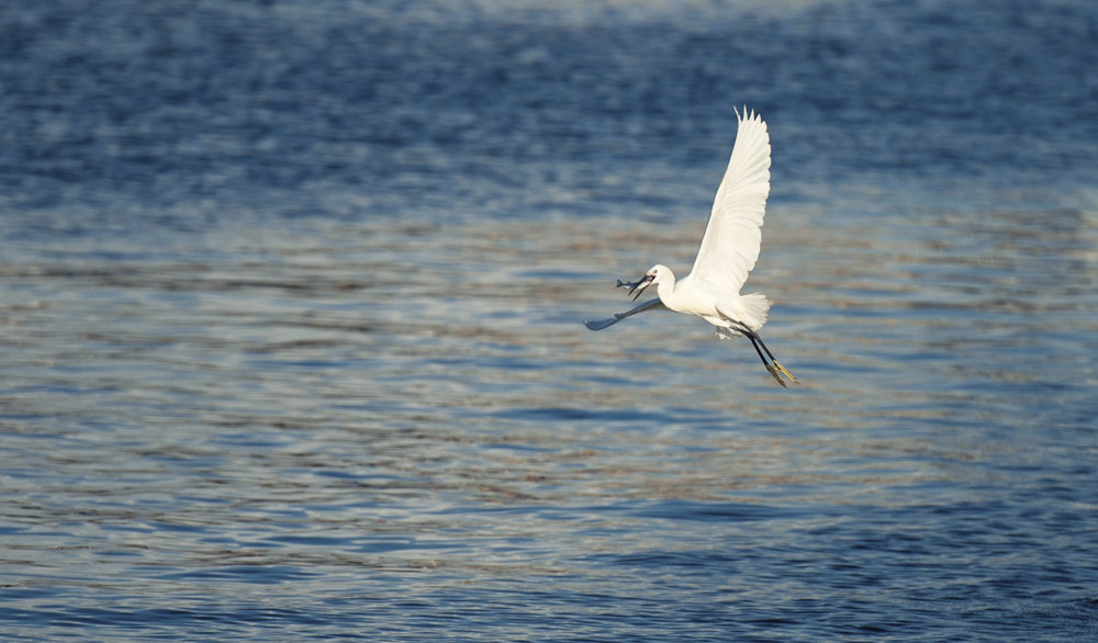 There are many egrets over the water of Yung Shue Wan and they are the most active in early morning catching fish.  清晨的榕树湾水面上许多白鹭在捕食。
