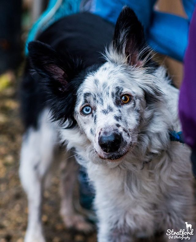 Photographed my first dog show two days ago!! #collie #colliesofinstagram #dogs #dogstagram #dog #different #differenteyes #cute #cutedog #thoseeyes #petphotography #petphotographer