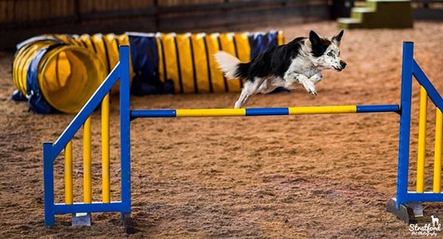 Photographed my first dog show two days ago!! #collie #colliesofinstagram #dogs #dogstagram #dog #boardercollie #cute #cutedog #thoseeyes #petphotography #petphotographer #dogshow #show #jump #dogjump #dogjumping