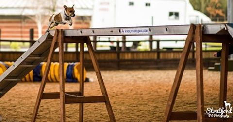 Photographed my first dog show two days ago!! #jackrussellsofinstagram #dogs #dogstagram #dog #jack #jackrussell #jackrussel #jackrussellterrier #petphotography #petphotographer #dogshow #show #jump #dogjump #dogjumping #corse #obstaclecourse #dogsticalcourse #agility #agilitydog #agilitycourse #dogagility