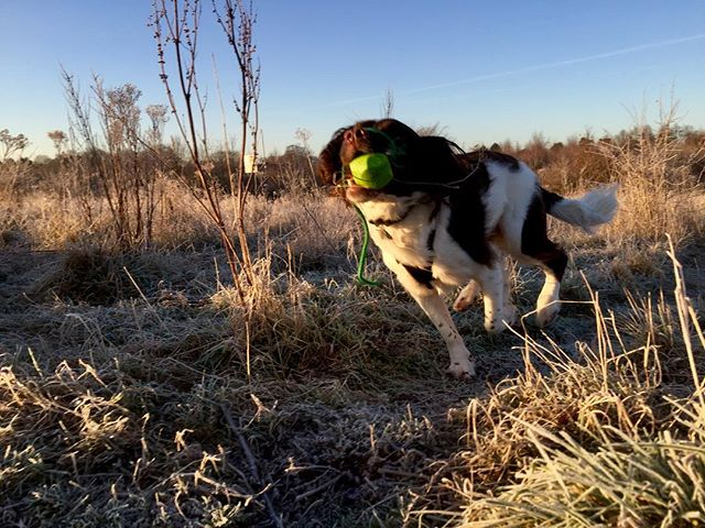 Only had my phone with me on this mornings walk, that'll teach me. #dogwalk #frost #frostymorning #springerspaniel