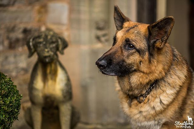 Harry the Alsatian. #alsation #olddog #instadog #dogsofinstgram #dogstatue #portrait #petportrait #petphotography #petphotographer #photooftheday #alsationlover #dog #dogs #dogphotography #dogphotographer