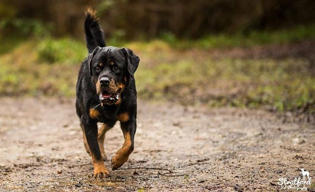 Great shoot yesterday at #oversleywoods ! Was on a job photographing this #rottweiler . #rottie #rottweilers_of_instagram #rottilove #dog #dogwalk #dogwalking #petphotography #petphotographer #dogphotography #dogphotooftheday #photooftheday #dogphotographer #petphotography #petphotographer #animalphotography #animalphotographer #england #naturalanimal