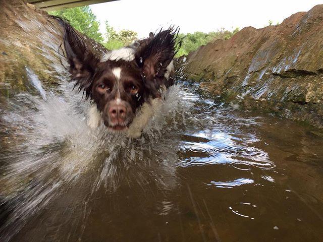 SPLASH!! #toweldog #towel #dog #springerspaniel #englishspringerspaniel #spaniellove #springerspanielsofinstagram #dogstagram #instadog #photooftheday #funny #funnydog #funnypets #funnyanimals #wetdog #splash #arty #artistic #slowshutter #slowshutterspeed #makingasplash #springerspaniel_feature