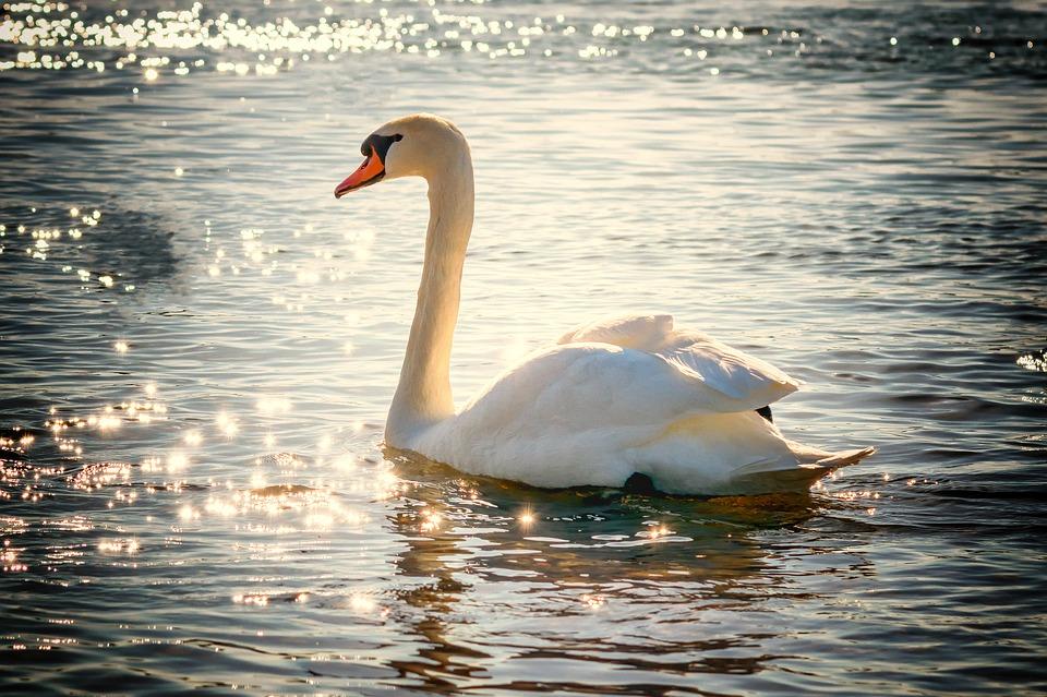 swan-2077219_960_720 (1).jpg