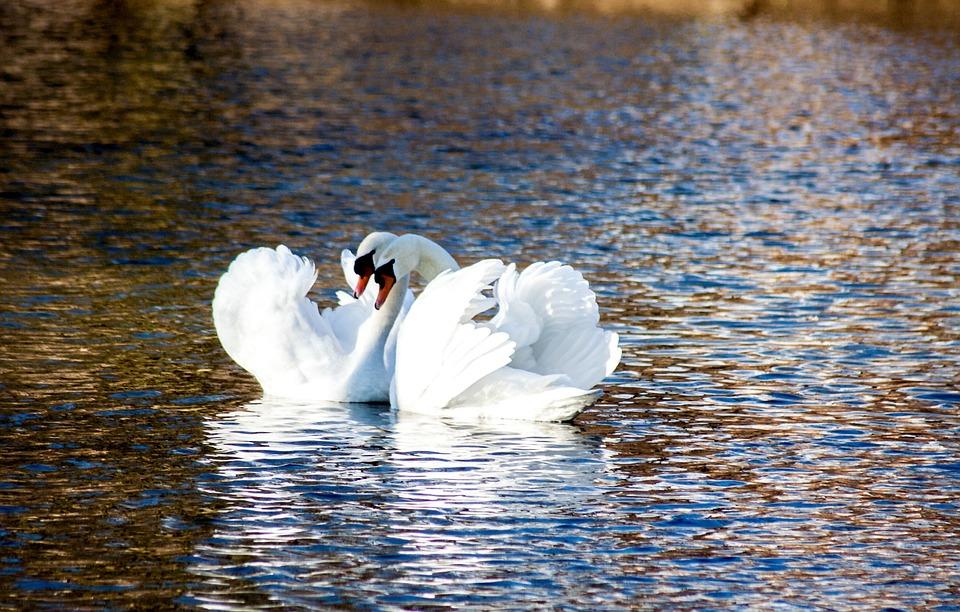 swan-644434_960_720.jpg