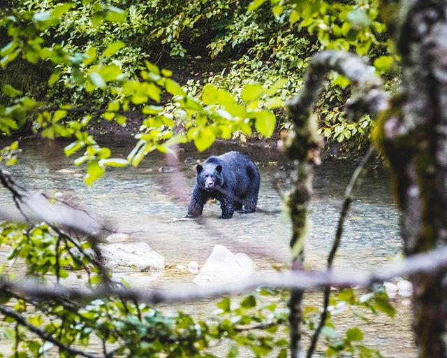 "On the other side of the Kitimat River, a bear is staring at me as if to say: ""Stay away dude!"" (Kitimat, British Columbia, Canada)."
