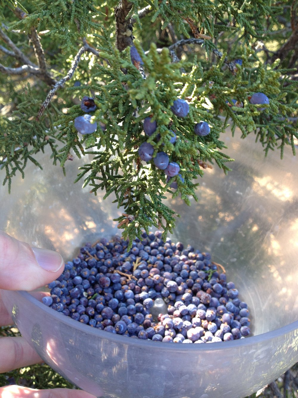 Varietal Gins™ - Experience the only distillery making varietal gins™ focusing on the unique characteristics of each species of juniper!