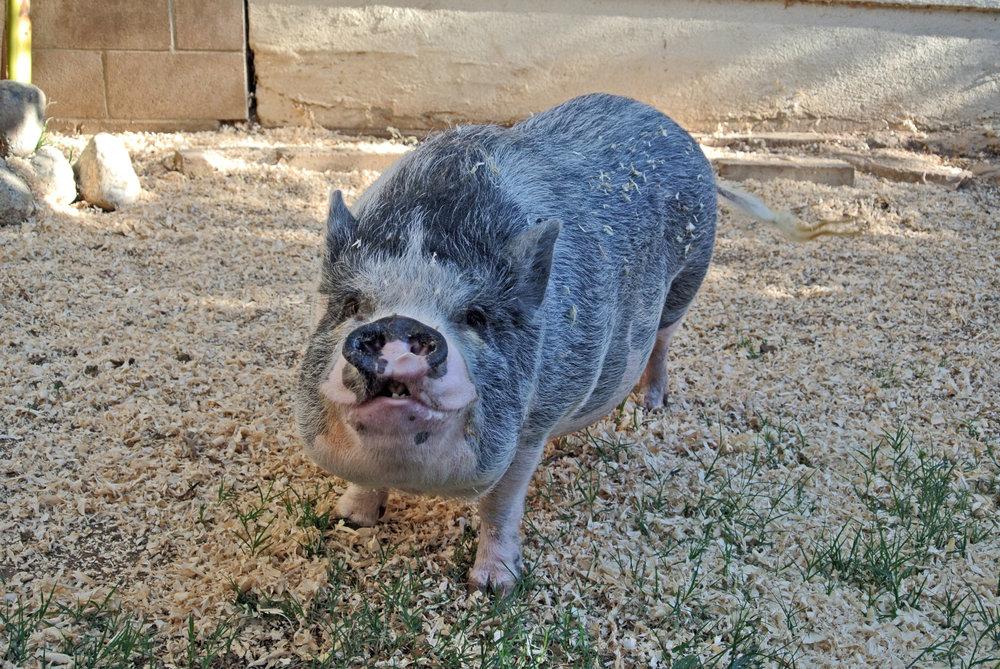 Leo the Pig