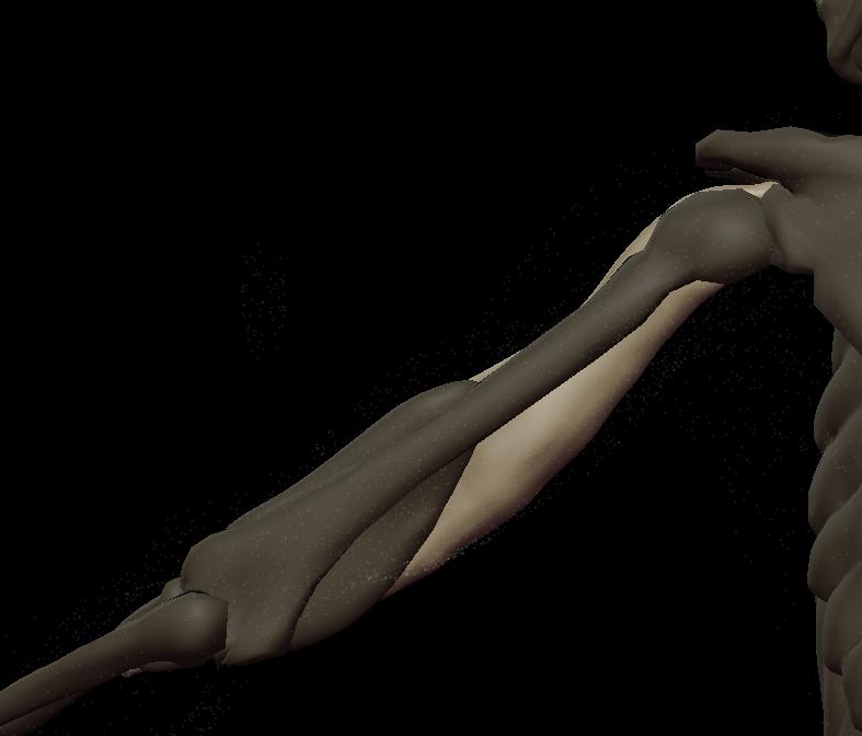 t biceps 3.png