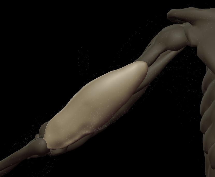 u triceps medial 1.png