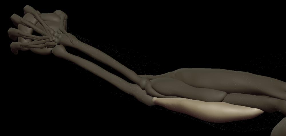 u triceps medial 2.png