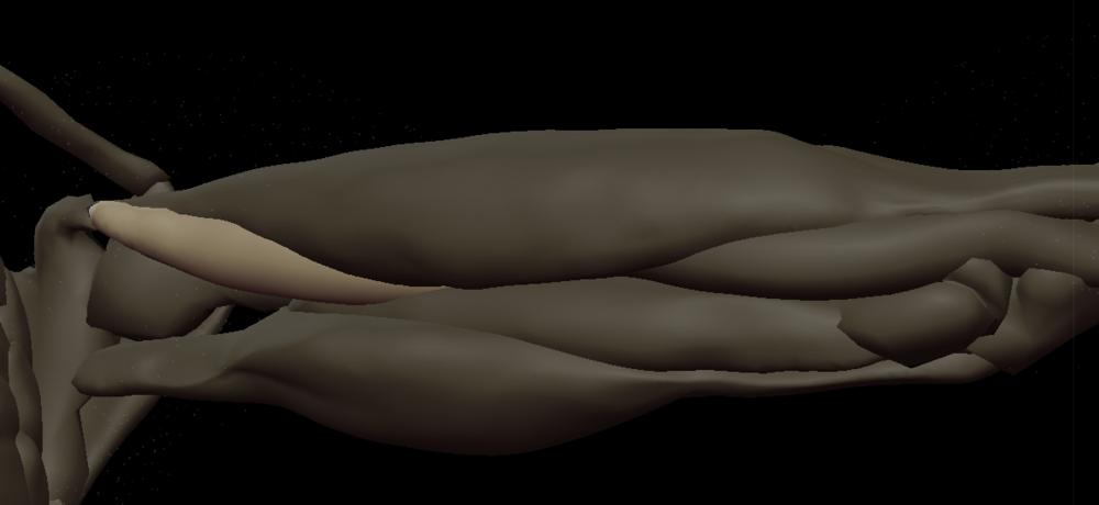 x coracobrachialis 3.png