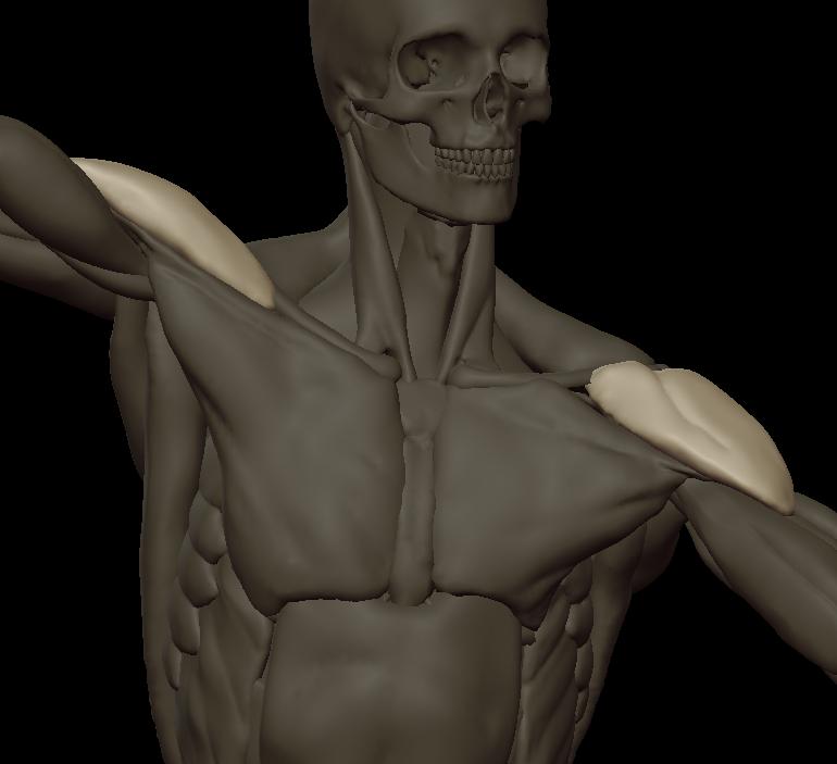 zzzzzzzz deltoideus 2.png