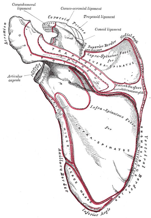 dorsal scapula gray.png
