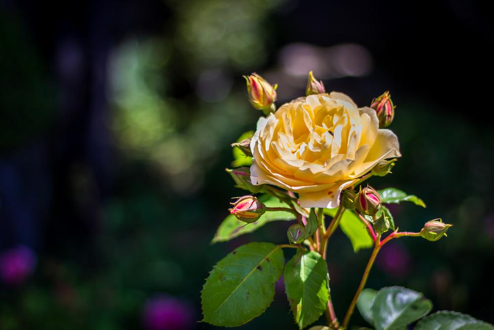 Varenna Rose