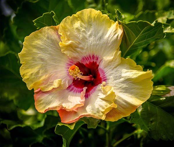 ccphotomagic, christina catherine photography, hawaiian flower photo, hibiscus photograph, spirit of aloha