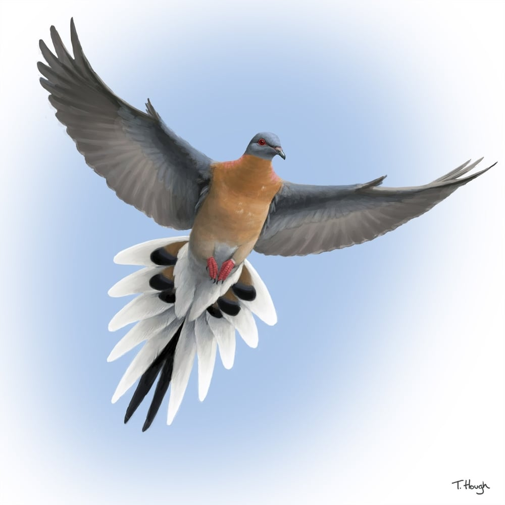 passenger_pigeon_in_flight.jpg
