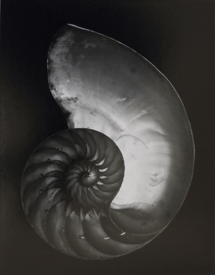 Edward Weston, Shell, 1927 (2S),  www.edward-weston.com