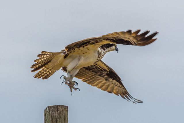 The Mighty Osprey