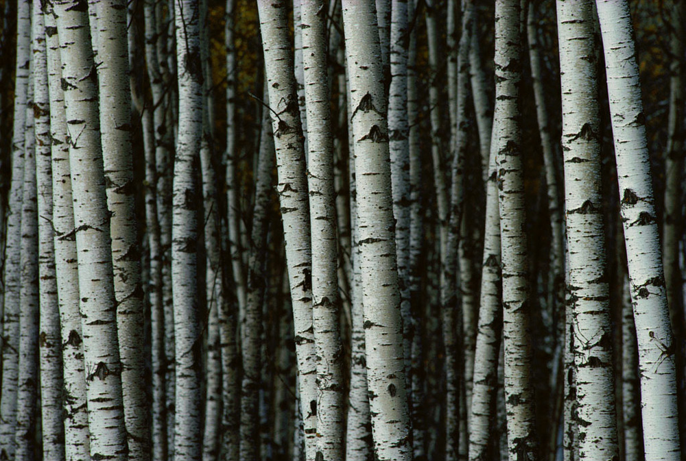 White Birch Trees, via National Geographic