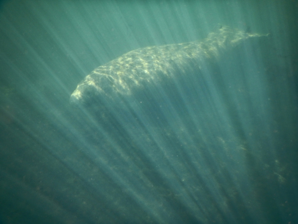 Manatee and Light.JPG