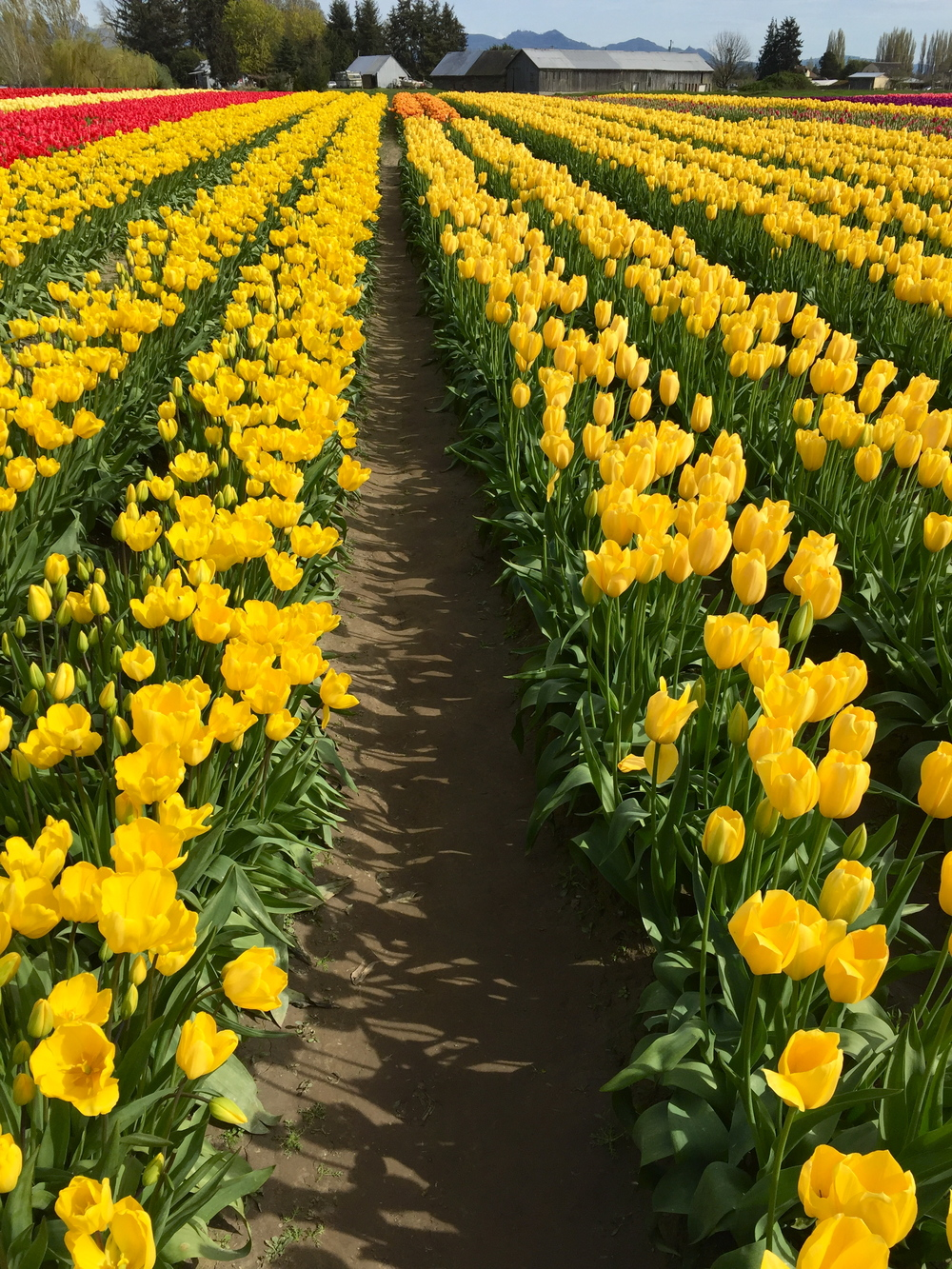 tulip_4.jpg