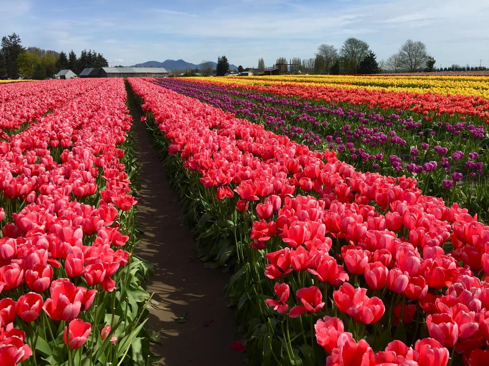 tulip_9.JPG
