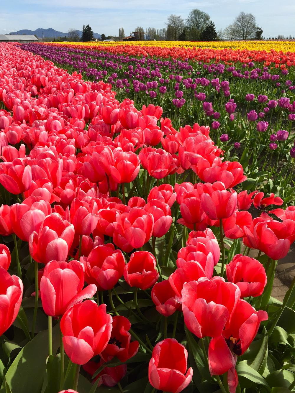tulip_11.jpg