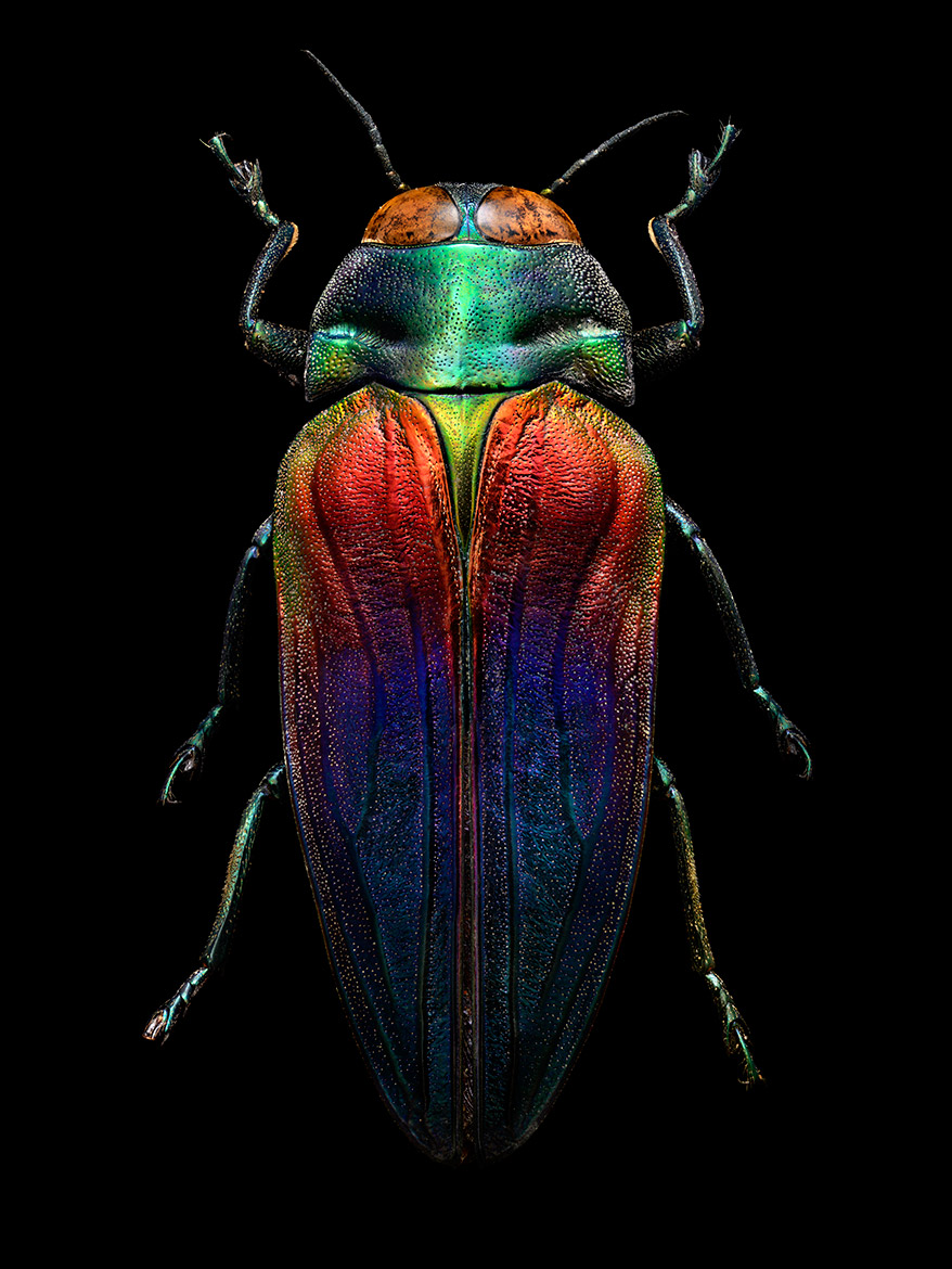 Tri-colored Jewel Beetle    Photo Cred:  Levon Biss