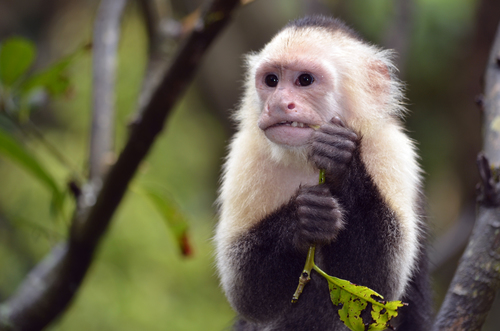 We will be visiting Manuel Antonio Park. We will hike through this jungle and we will have the opportunity to see 3 species of monkeys, sloths, birds, snakes, frogs, and many other animals that live in this rainforest. -