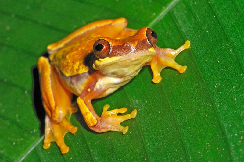 Hourglass Tree Frog 0708-038.jpg