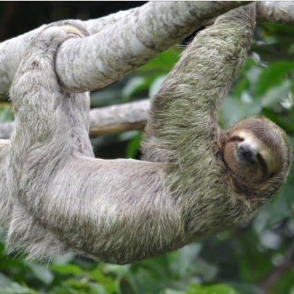 SLOTH TOUR  - Arenal, CR