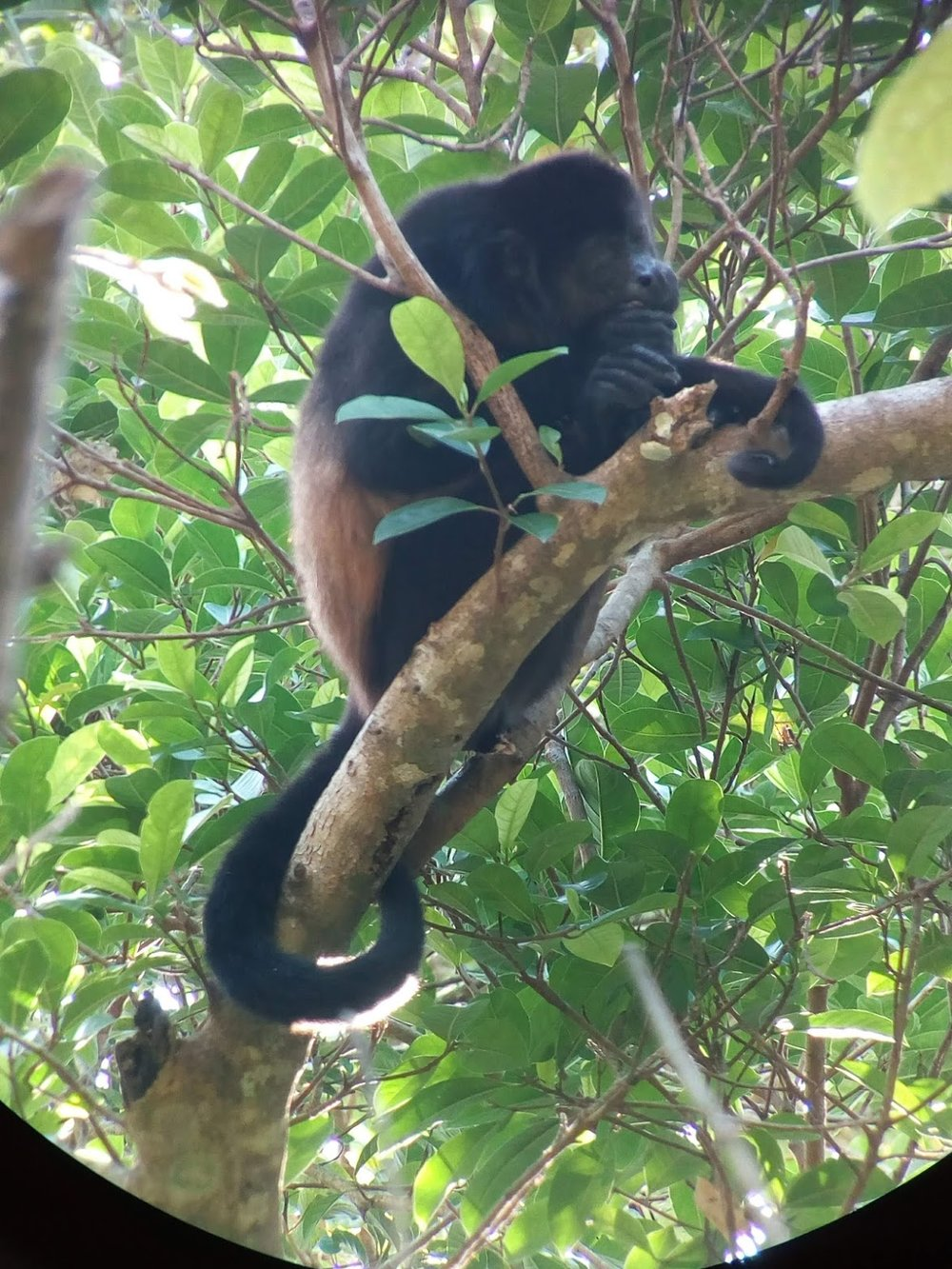 The Howler Monkeys are frequent guests at the Arenal Oasis