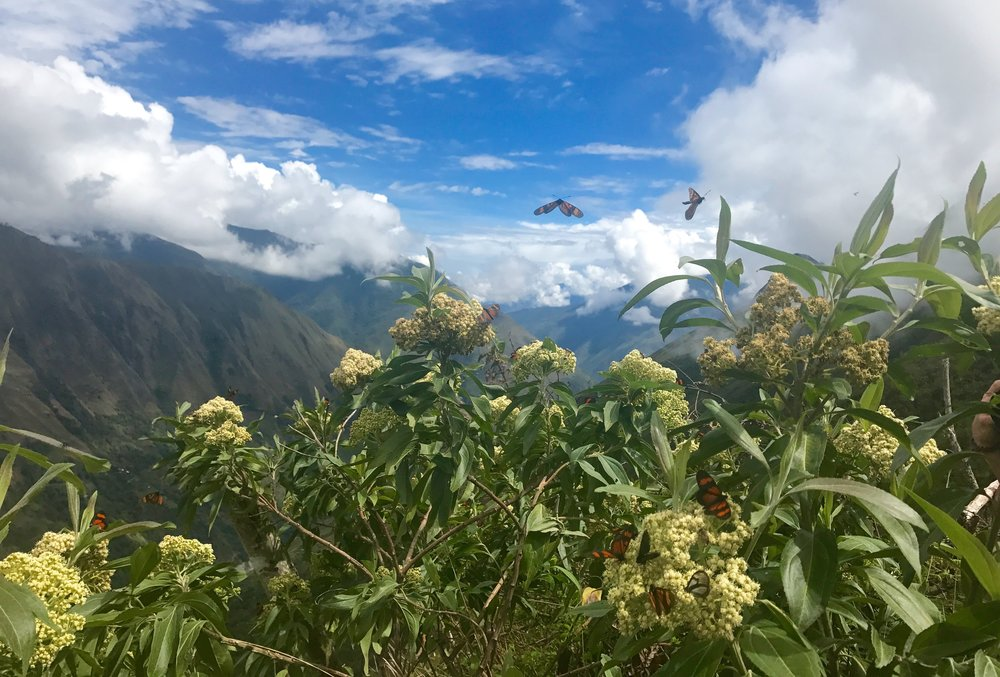 Butterflies on the highest peak of Llactapata