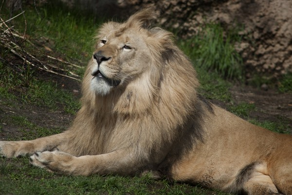 lion-john-ball-zoo--27626affb56d840f.jpg