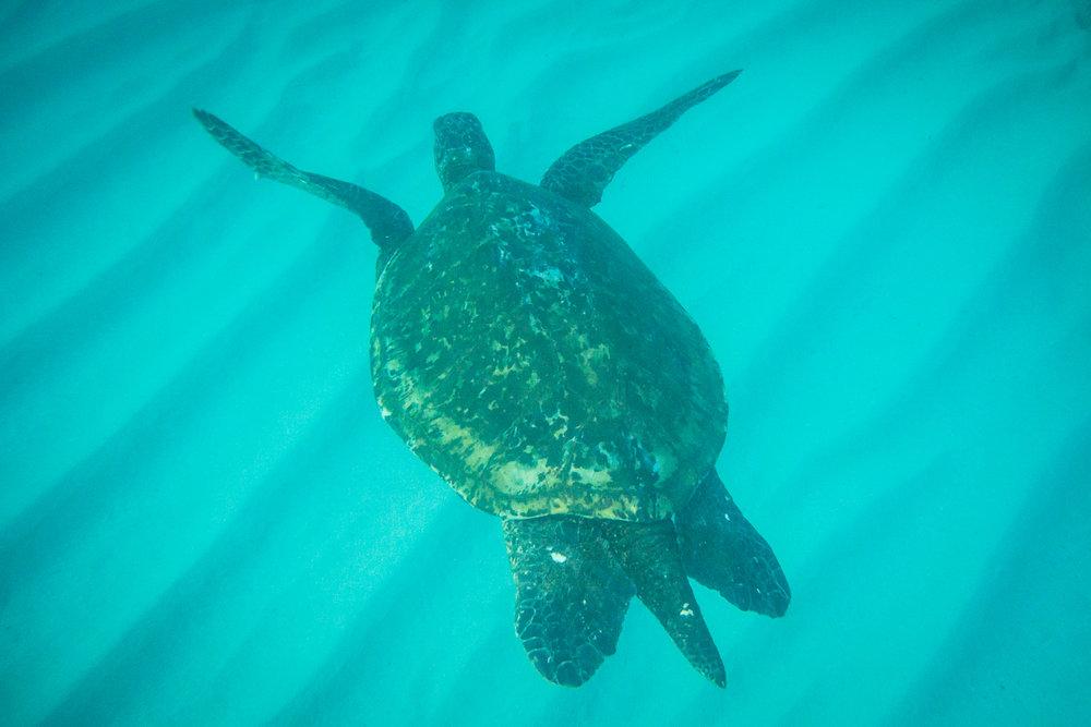 freediving-hawaiian-turtles-pueo-creations-photography-maui